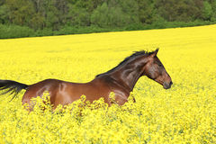 Brown horse running in yellow colza field Stock Photos