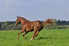Brown horse runs gallop on the meadow Royalty Free Stock Images