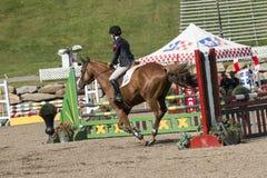 Brown horse runs gallop Royalty Free Stock Image