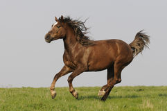 Brown horse runs on the meadow. In summer Royalty Free Stock Images