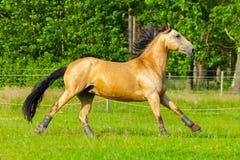 Brown horse runs over a green willow Stock Photos