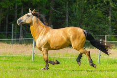 Brown horse runs over a green willow Stock Image