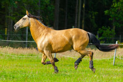 Brown horse runs over a green willow Stock Images