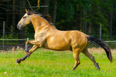 Brown horse runs over a green willow Royalty Free Stock Image
