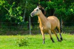 Brown horse runs over a green willow Royalty Free Stock Photos