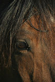 Brown horse's eye Royalty Free Stock Image