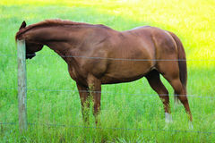 Brown Horse Scratching Ear On Fence. Brown horse scratching itchy ear on fence post Stock Images