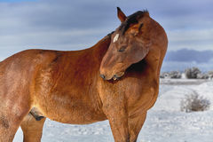 Brown Horse scratching himself with his Teeth Stock Image
