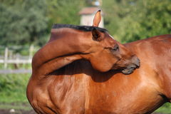 Brown horse scratching itself on the pasture Stock Image