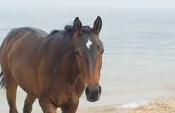 Brown horse on sea background Royalty Free Stock Photos