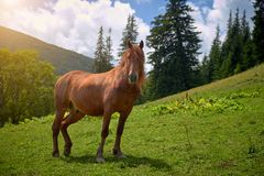 Brown horse shows teeth against a green mountain valley royalty free stock photos