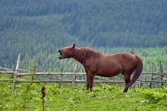 Brown horse shows teeth against a green mountain valley.  royalty free stock photos