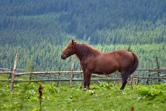 Brown horse shows teeth against a green mountain valley.  stock image
