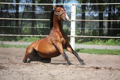 Brown horse sitting on the ground. In the paddock Stock Photo