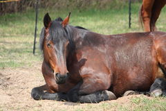Brown horse sleeping on the ground Stock Photo