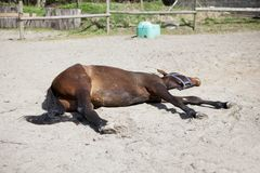 Horse is sleeping on paddock Royalty Free Stock Photo