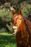 Brown horse smile. A horse brown laughs, is happy Stock Photography