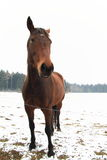 Smiling brown horse. Brown horse smiling in winter time Royalty Free Stock Image