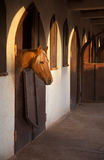 Brown Horse Sneaking Out of His Stable Window With Warm Orange Ray of Sun on his Head Royalty Free Stock Photography