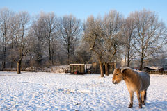 Brown horse in the snow Stock Photos