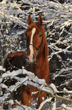 Brown horse in snow branches. In winter Stock Photography