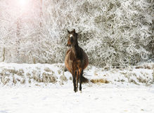 Brown horse in the snow Royalty Free Stock Photo