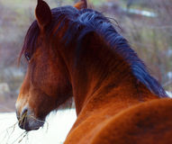 Brown Horse in Snow land Royalty Free Stock Photography