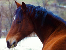 Brown Horse in Snow land and snowfall. Royalty Free Stock Photography