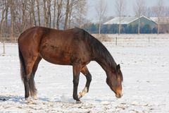 Brown horse on a snowy winter meadow Royalty Free Stock Image
