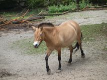 Brown horse on spring pasture Royalty Free Stock Photos