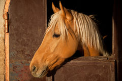 Brown Horse in the Stable. Brown Horse with blond hair in the Stable Royalty Free Stock Images