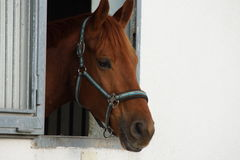 Brown horse in a stable Royalty Free Stock Images