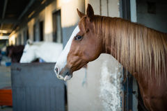 Brown horse in the stable Royalty Free Stock Images
