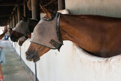 A Brown horse at stable Stock Photography