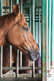 Brown horse in stable Stock Image
