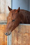 Brown horse in stable Royalty Free Stock Images