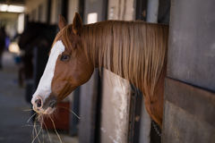 Brown horse at stable. Side view of brown horse at stable Stock Photography