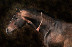 Brown horse stallion portrait. On the color background Stock Photography