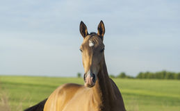 Brown horse  stand on the green field Stock Image