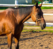 Brown horse standing in aviary Royalty Free Stock Photography