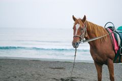 A brown horse standing on a beachside stock photography