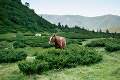 Brown horse standing behind bushes and chewing grass. Brown horse in the wilderness of the Carpathian mountains standing behind bushes and chewing grass Royalty Free Stock Image