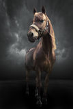 Brown horse standing Stock Images