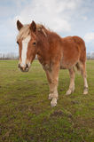 Brown horse standing on grass Stock Photography