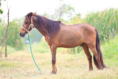 Brown horse standing in grass field Royalty Free Stock Photography