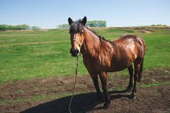 Brown horse standing among green fields. livestock are tethered. Agriculture Stock Photo