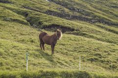 Brown horse, standing on a hill, grazing. Brown icelandic breed horse standing on a green grassland in Iceland stock images