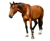 Brown horse standing isolated on the white background. A closeup portrait of the face of a horse. Brown horse standing isolated on the white background. A stock photography