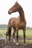 Brown horse standing in meadow Royalty Free Stock Photos
