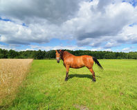 Brown horse standing in a meadow. Stock Image